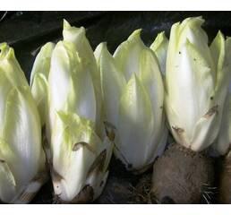 Цикорій салатний Вітлуф