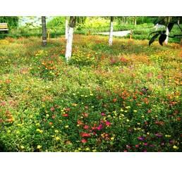Трава газонна Мавританська