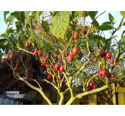 Томатное дерево Тамарильйо