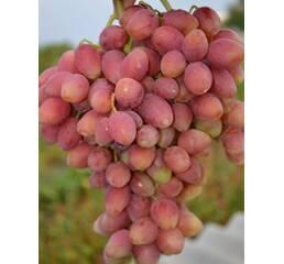Виноград Ксенія (0,5-1,5 л)