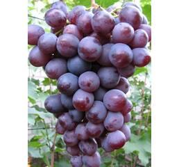 Виноград Нізіна (0,5-1,5 л)