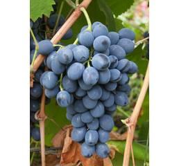 Виноград Молдова (0,5-1,5 л)