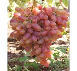 Виноград Юліан  (0,5-1,5 л)