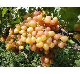Виноград Хамелеон (0,5-1,5 л)