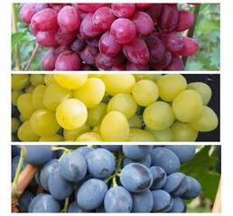 Комплект з 3 сортів винограду