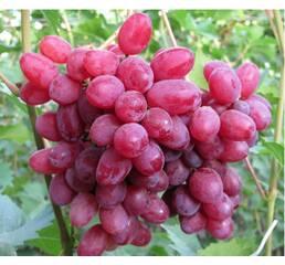 Виноград Велес (0,5-1,5 л)