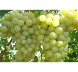 Виноград Антоній Великий (0,5-1,5 л)