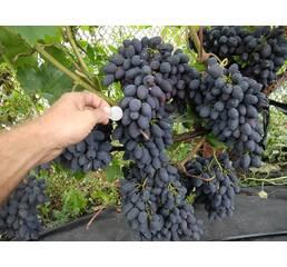 Виноград Руслан (0,5-1,5 л)