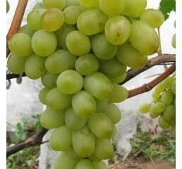 Виноград Подарунок Запоріжжю (0,5-1,5 л)