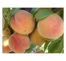 Персик колоновидний Ювілейний