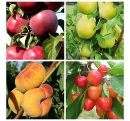 Комплект з 4-х колон. дерев (яблуня, груша, персик, черешня)