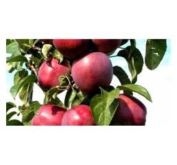 Яблуня колоновидна ВІКТОРІЯ