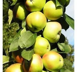 Яблуня колоновидна БОЛЕРО