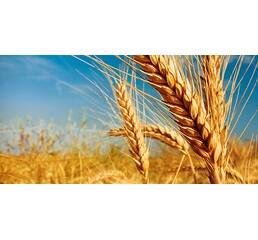 Пшеница 1 класса