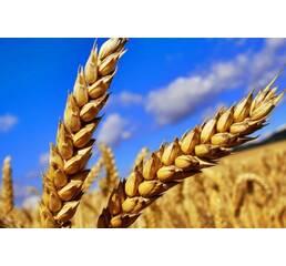Пшеница 2 класса