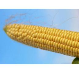 Кукурудза цукрова Ротердам (ЕКК-40М) за 50 нас.