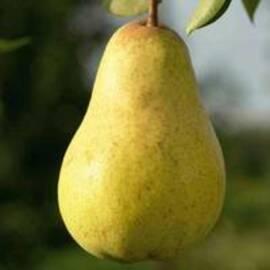 Вирощування саджанців груші
