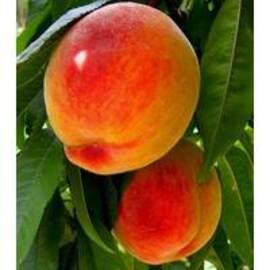 Вирощування саджанців персику