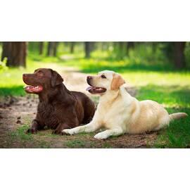 Груминг собак: лабрадор (Львов, Украина)
