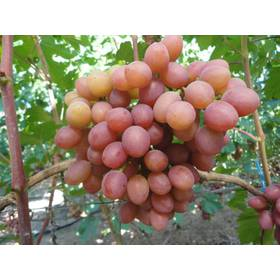 """Саджанець винограду """"Гурман - ранній"""""""