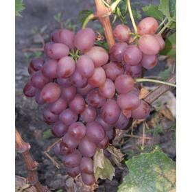 """Саджанець винограду """"Лівія"""""""
