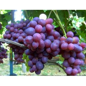 Черенки винограда Подарок Несветая