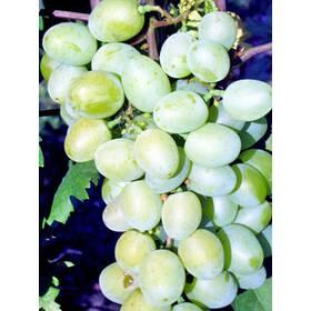 """Саженцы винограда """"Галахад"""""""