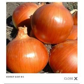 Семена лука - КОПЕР БОЛ Ф1