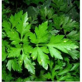 Петрушка листовая Гигант Италии  за 10 г