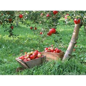 Плодові дерева і чагарники
