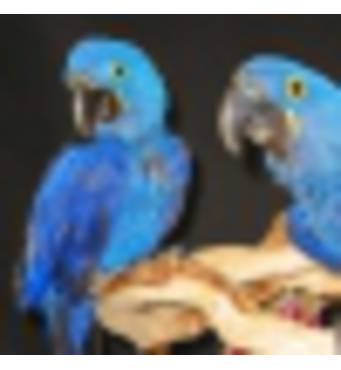Продам папугу Ару Гіацінтового