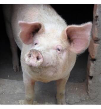Покупайте корм для свиней