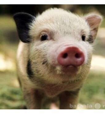 Реализуем БМВД для свиней