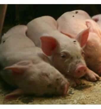 Предлагаем корма для кормления свиней