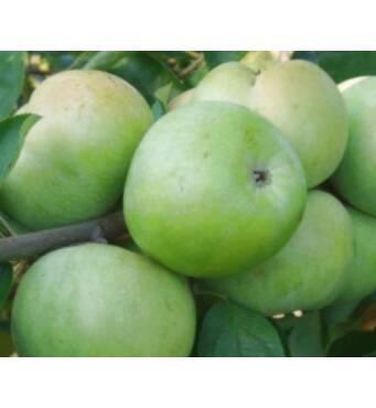 Продаємо яблука Ренет Симиренка оптом (Вінницька область)
