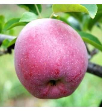 У продажу яблука Флоріна оптом за вигідною ціною