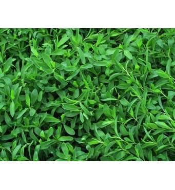 Газонне насіння