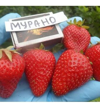 Клубника сорта «Мурано», купить рассаду оптом