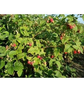 Купить декоративные растенияи плодовые растения недорого