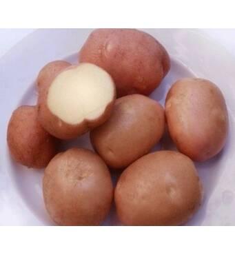 Сортова картопля Белларозау продажу за найкращою ціною