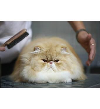 Гигиеническая стрижка кошек: качественно и профессионально!