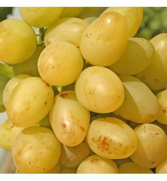 Виноград живці купити