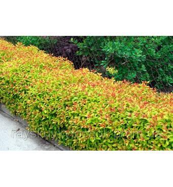Спірея японська: красивоквітуча рослина недорого