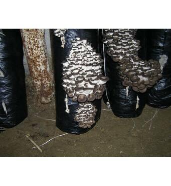 Здійснюємо продаж грибних блоків гливи