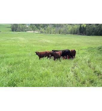 У продажу електропастух для корів