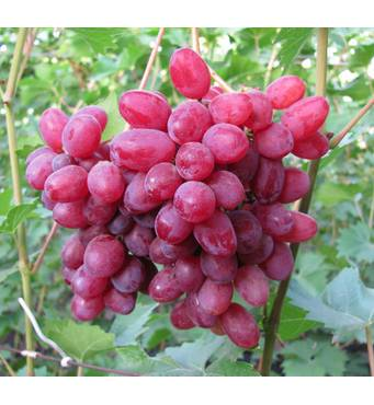 Купить черенки винограда почтой