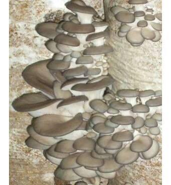 Реализуем грибной блок вешенки