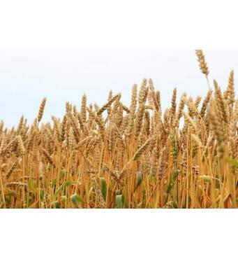 Купить пшеницу на корм скоту с доставкой по Украине!