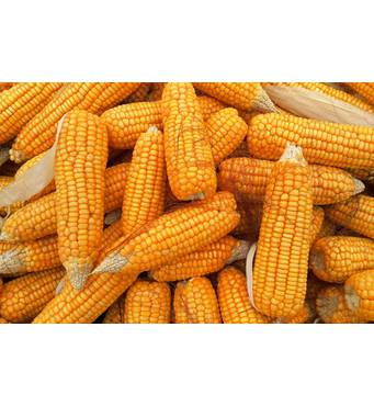Купить кукурузу оптом можно у нас!