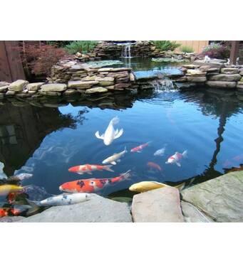 Водойма, коропи коі оптом, рибки для водойми, водні рослини, корм для коі